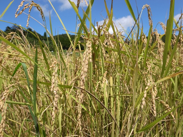 9月9日初めての『稲刈り』体験