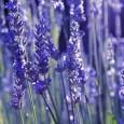 アロマテラピーとはなんでしょう? アロマテラピーは 「芳香」という意味のaroma 「治療」「癒し」という意味のtherapy という2つの言葉を合わせた造語です。 植物から抽出した精油(エッセンシャルオイ […]