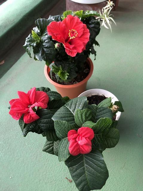 ポインセチアとハイビスカスが一緒に咲いてる今年の冬